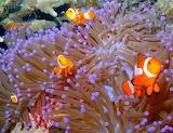 Clown Fish ~ Bay Of Coron
