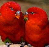 Czerwone papużki