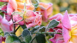 Pink roses in frost