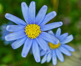 Daisy in Blue