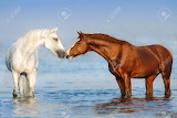 88336154-two-beautiful-horses-standing-in-blue-water