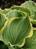 Large hosta leaves