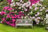 rhododendron flowering, Jeli Arboretum, Hungary