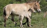 Przewalski's Wild Horses