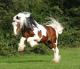 Horses - Clydesdale