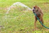 Thirsty Baboon ~ Amboseli