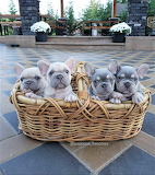 Basket of french bulldogs
