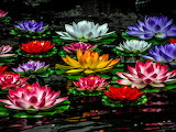 Разноцветные водяные лилии