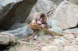 Natural snow monkey endangered Japanese