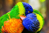 Two colorful bright parrots