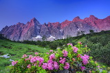 mountain and alpine roses