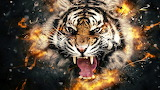 Watch out for Tigers!