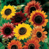 ^ Sunflowers
