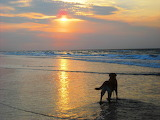 Dog watching sunset in surf