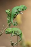 Green Chameleons