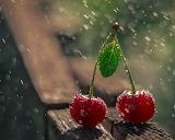 Two cherries in the rain