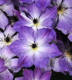 From The Purple Files - Clematis
