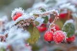 Red berries, frozen, winter