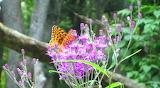 Wildflower Ironweed