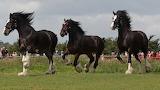 Galloping shires
