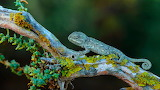 Chameleon, Cadiz