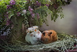 Chamomile, pair, wreath, acacia, Guinea pigs, animal, flowers