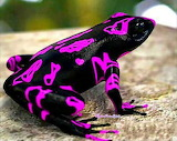 Costa Rican Harlequin toad