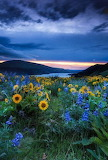 Blue Bonnets and Sunflowers
