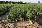 ^ Vidalia Onion Field, Vidalia, Georgia