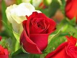 Rose-flower-wallpaper-All-Free-Download