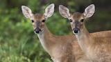 Cabirols - Deers