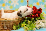 Dog, flowers, basket, baby, puppy