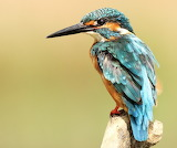 Pretty-coloured Kingfisher