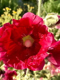 Flowers - Hollyhock