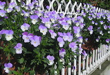 Purple Pansy white fence