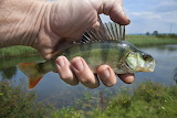 River-fish