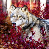 *Autumn Gray Wolf...