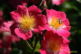 Roses and a bee