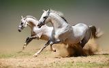 Caballos-arabe-galopando