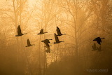 Jason Savage Photography Canada Geese Montana Fog