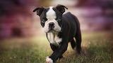 Small-boston-terrier