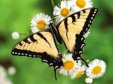 Swallowtail Butterfly Beauty