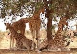 Giraffes resting