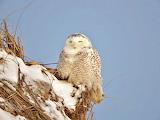 Snowy Owl Hampton New Hampshire USA
