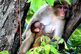 monkey breastfeeding her baby