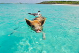 Pig and seagull swimming
