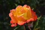 Rose-829688
