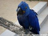 Blue parrot / Perroquet Bleu