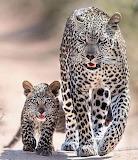 Beautiful leopards