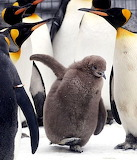 King penguin chick animals